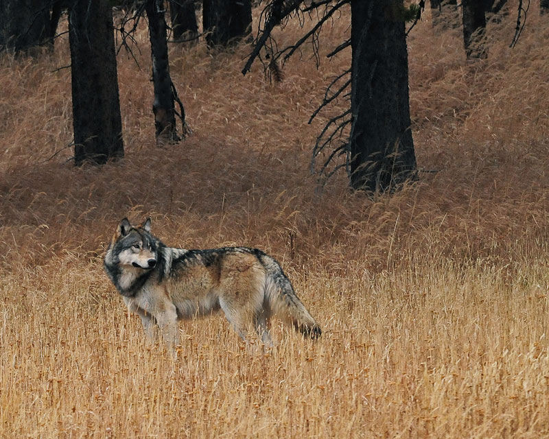 yellowstone reintroduction of gray wolves